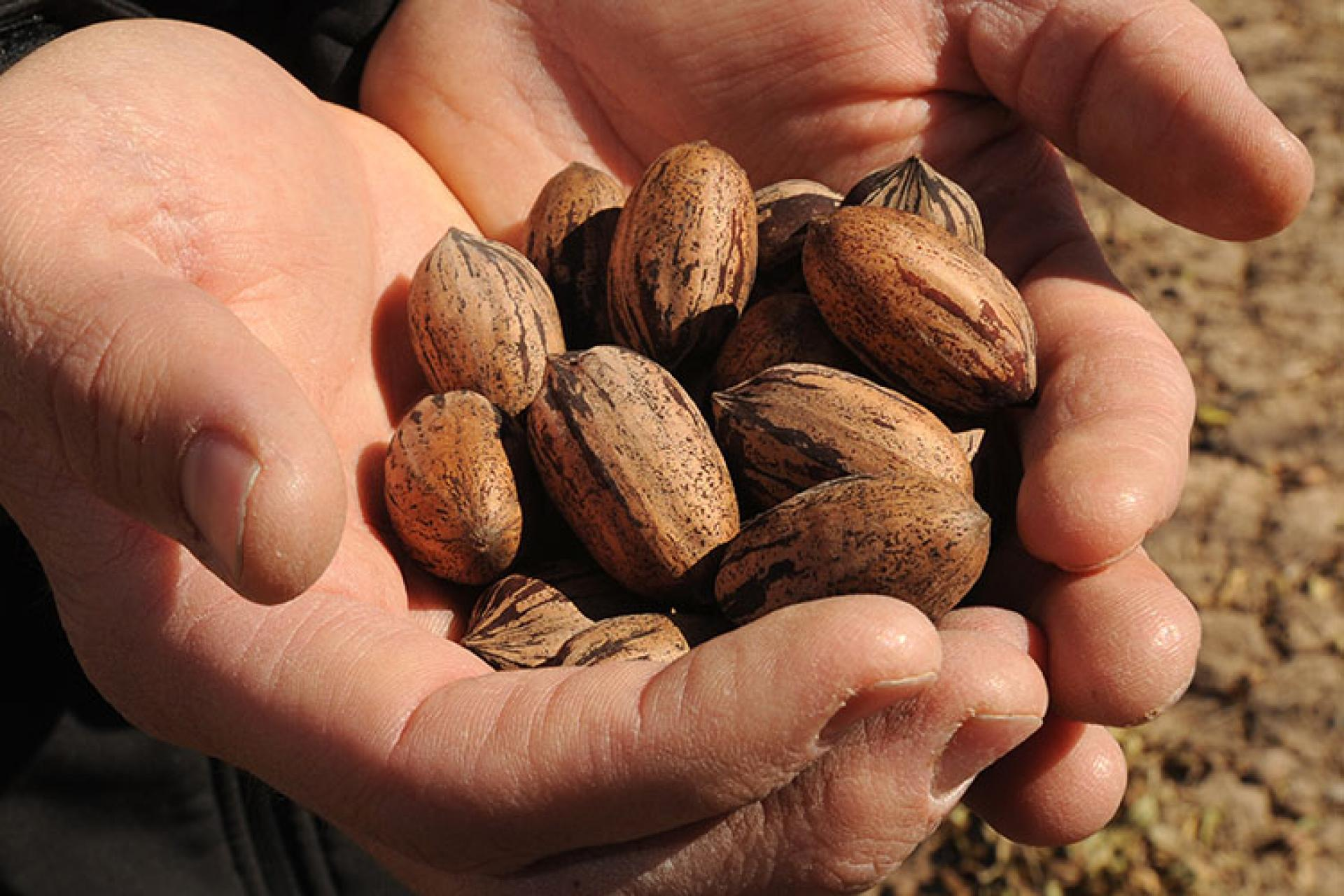 Dr. Richard Heerema holds out pecans in his hands.